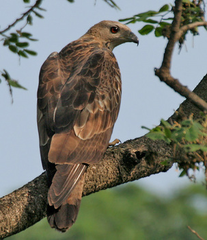 Oriental_Honey-buzzard_(Pernis_ptilorhynchus)-_Male_at_Kolkata_I_IMG_7451.jpg